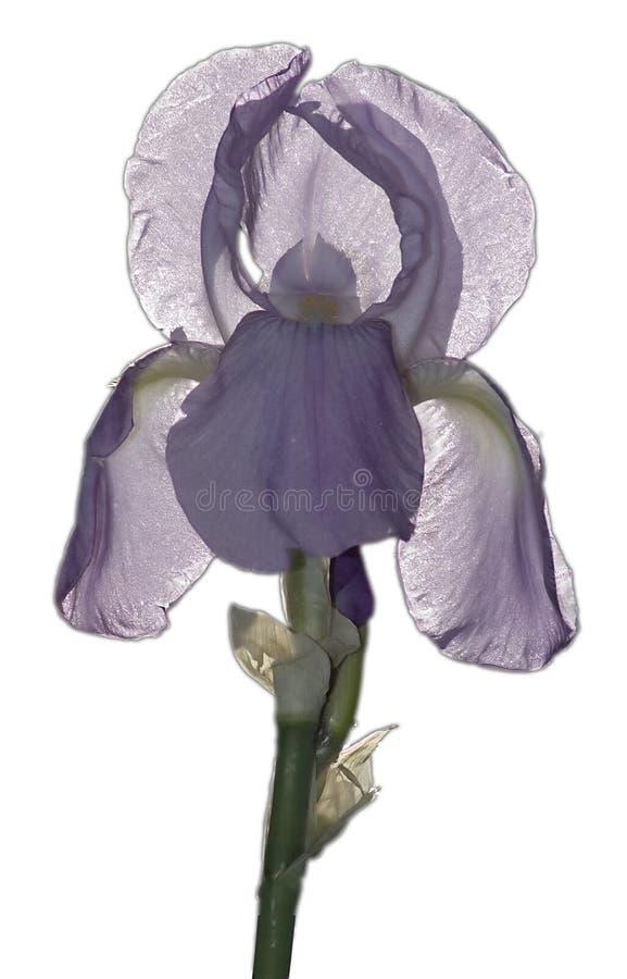 Download Spindelväv iris fotografering för bildbyråer. Bild av flor - 277781