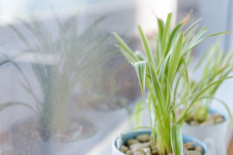 Spindelväxt Chlorophytum i det vita keramiska blomkrukaanseendet på fönsterbräda arkivbild