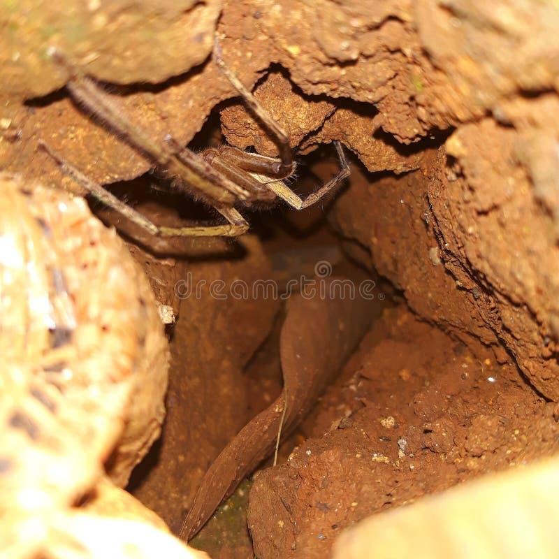 Spindlar inklusive ett mycket unikt kryp, med dess rede som förstorar fällan, medan skydda sig från andra kryp arkivbild
