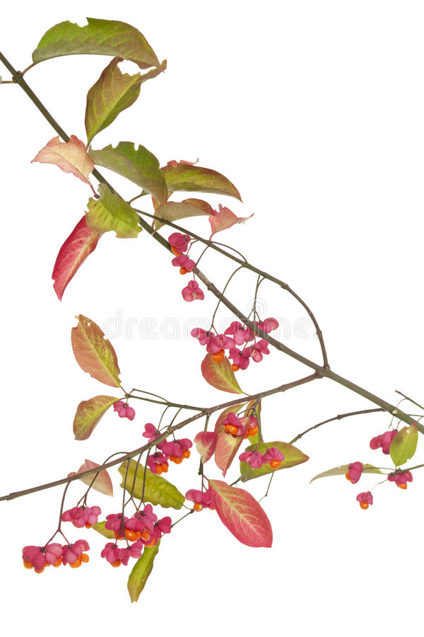 Download Spindle tree stock image. Image of tree, branch, bush - 23479217