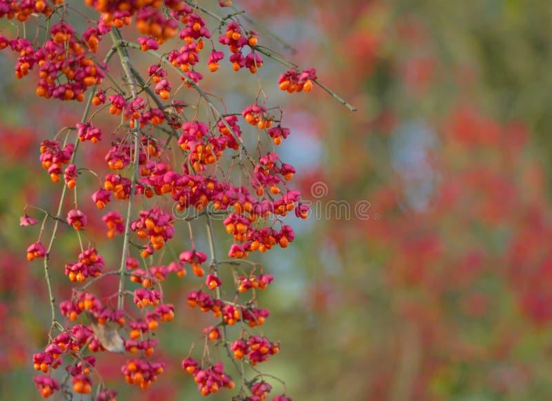 Spindle tree macro nature. Background royalty free stock image
