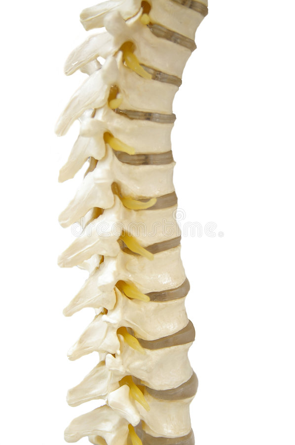 The spine royalty free stock photo