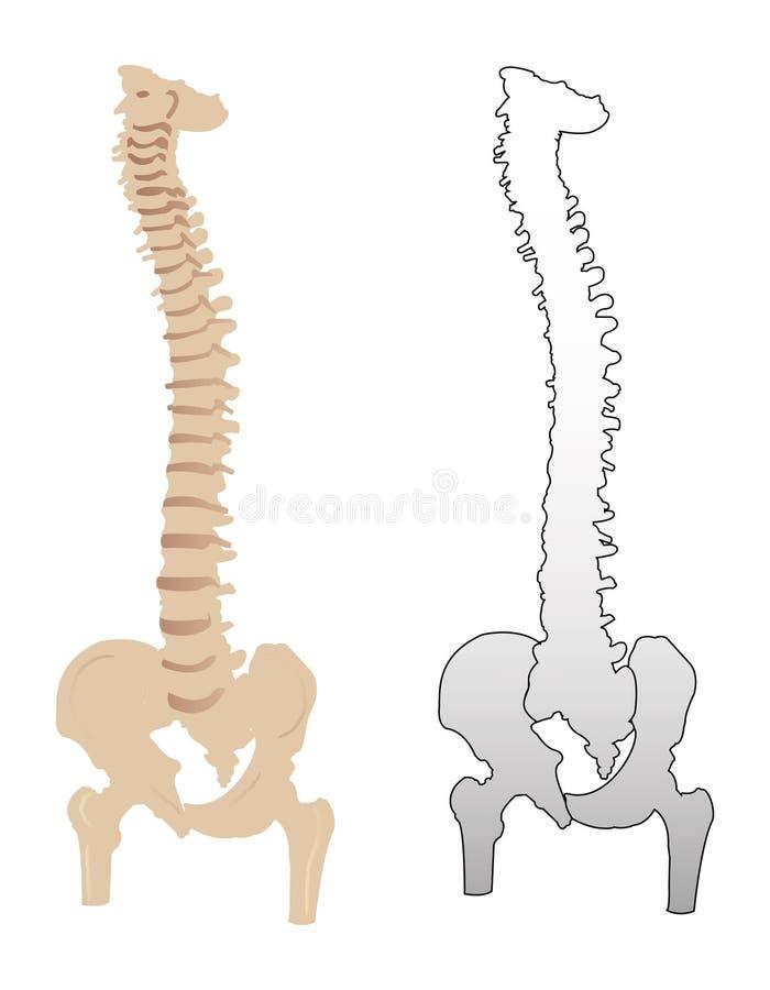 Spine. Illustration of spine on white background royalty free illustration