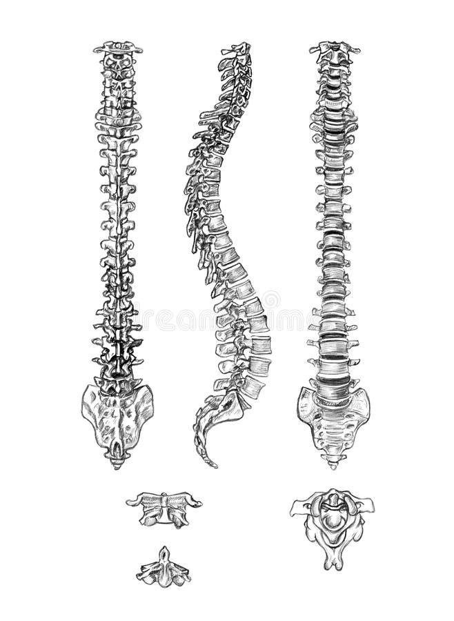Spine (4 angles) and vertebrae. Hand drawn medical illustration drawing with imitation of lithography: Spine (4 angles) and vertebrae stock illustration
