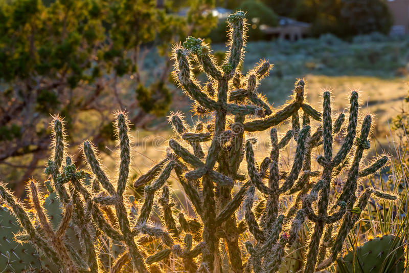 Spine d'ardore del cactus fotografie stock