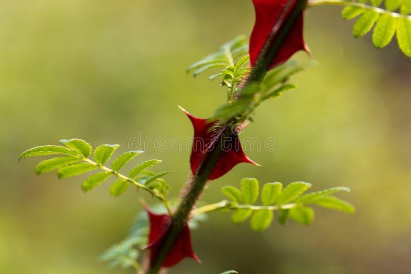 Spine dorsali del omeiensis di Rosa immagini stock