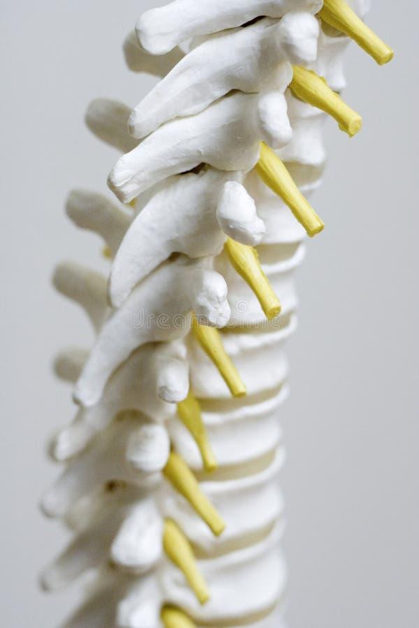 Spine model up close stock photos