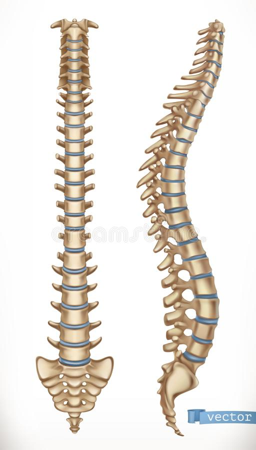 Spine structure. Front and side view. Human skeleton, medicine. 3d vector royalty free illustration