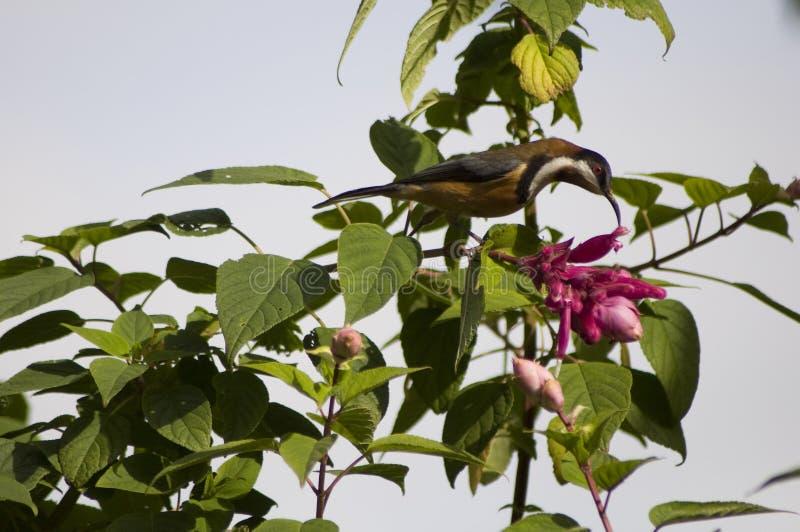 Spinebill oriental dans Salvia image libre de droits