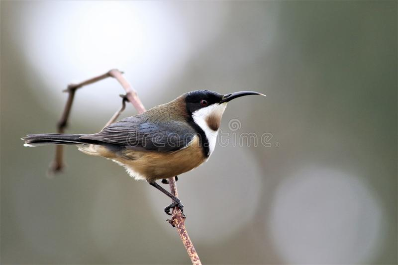 Spinebill oriental, oiseau indigène australien photo stock