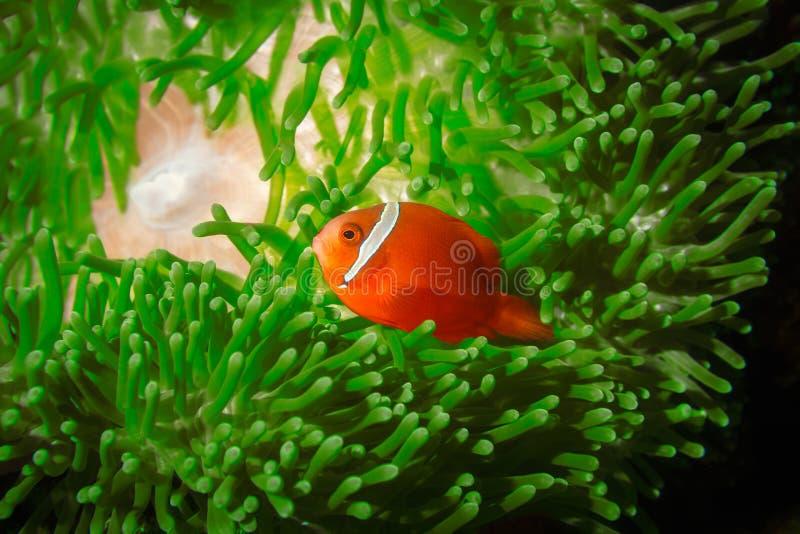 Spinecheek anemonefish 免版税库存图片