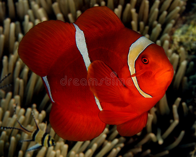 Spinecheek Anemonefish imagem de stock royalty free