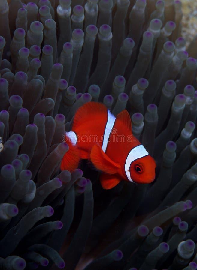 spinecheek d'anemonefish photo libre de droits