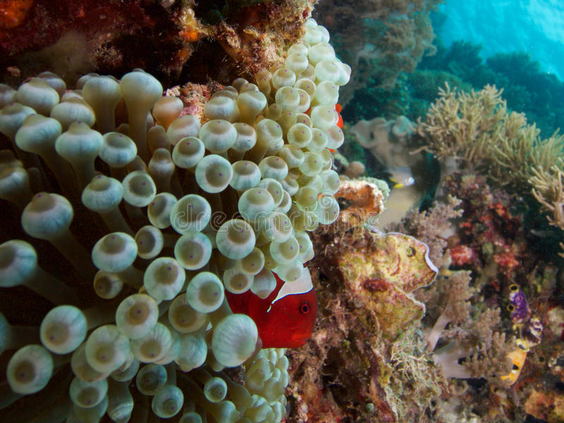 Spinecheeked clownfish i bubbletipanemonen, Raja Ampat, Indonesien arkivfoto