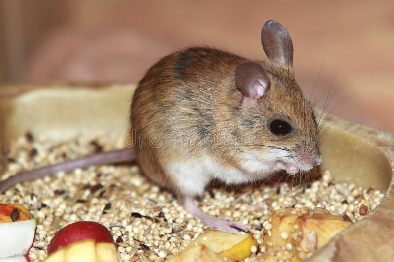 Spinifex hopping mouse royalty free stock photo
