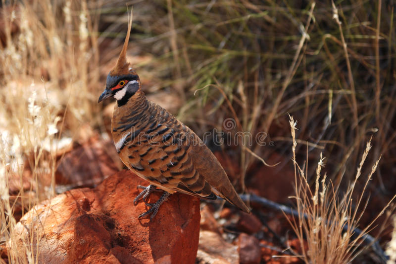 Download Spinifex Pigeon (Geophaps Plumifera) Stock Photography - Image: 11276272