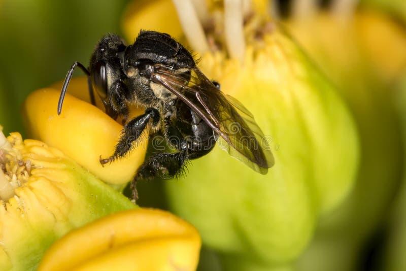 Spinipes dell'ape Arapua - di Trigona - foto d'impollinazione d'impollinazione di macro del fiore dell'ape di fine di estremo del fotografia stock