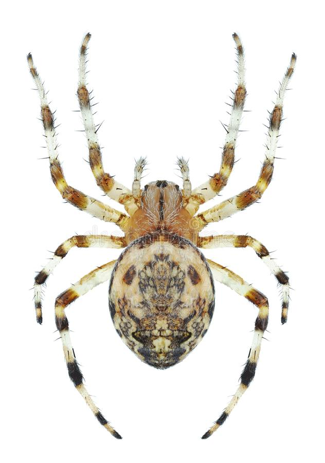 Spinne Araneus marmoreus Frau stockfoto