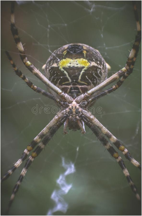 Spinne - Argiope Argentata lizenzfreie stockbilder