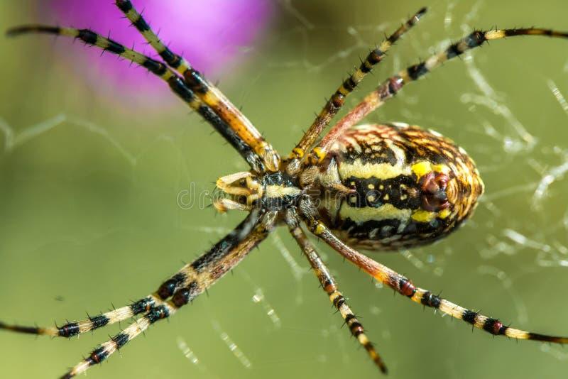 Spinne Argiope auf der Jagd stockfoto
