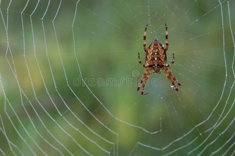 Spinne auf dewy Web stockbild