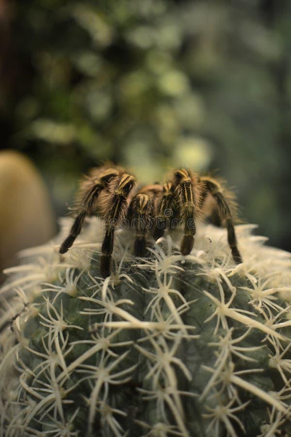 Spinne auf einem Kaktus lizenzfreies stockfoto