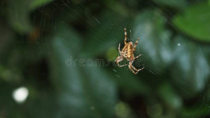 Spinne auf Netz lizenzfreies stockbild