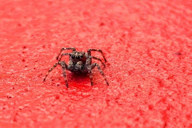 Spinne auf roter Wandnahaufnahme stockbilder