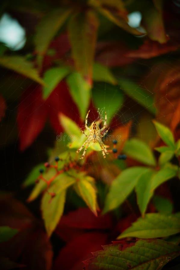 Spinne auf Spinnenweb lizenzfreie stockbilder