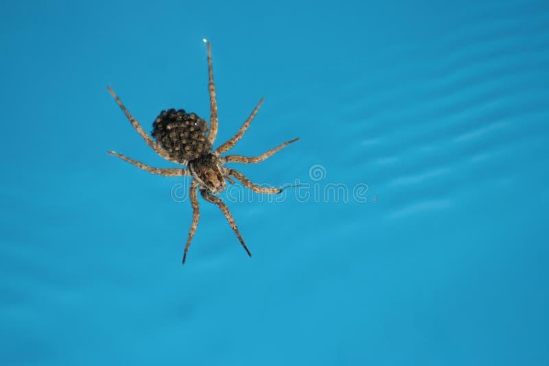 Spinne auf Wasser lizenzfreie stockfotografie