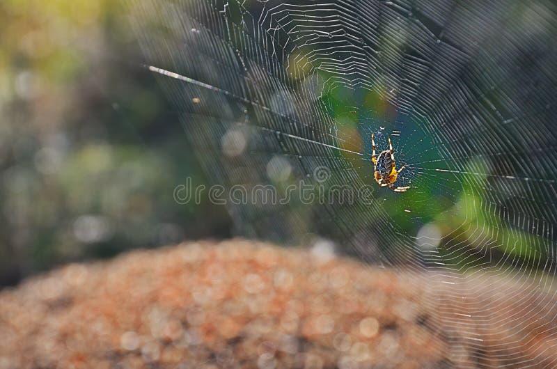 Spinne in der Mitte eines flachen Netzes lizenzfreie stockbilder