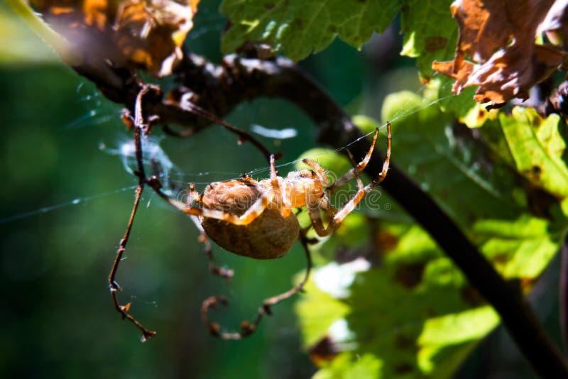 Spinne, die im Netz auf einen Busch kriecht stockfotos