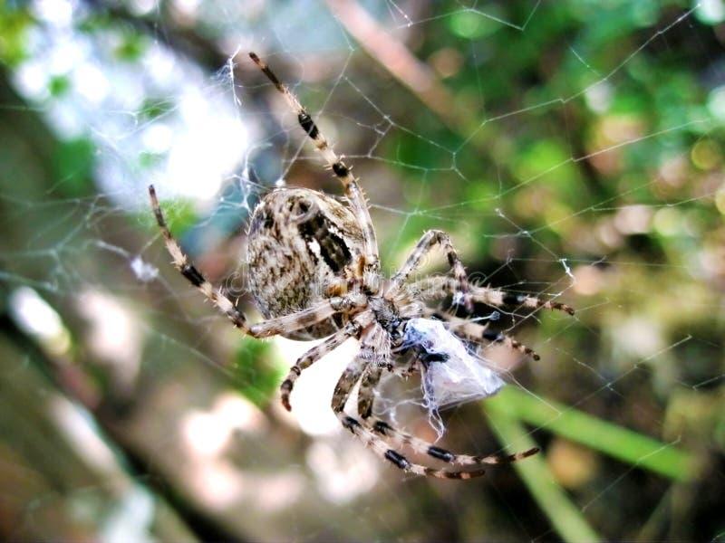 Spinne, die im Netz sein Opfer in der Seide einwickelt stockfotografie