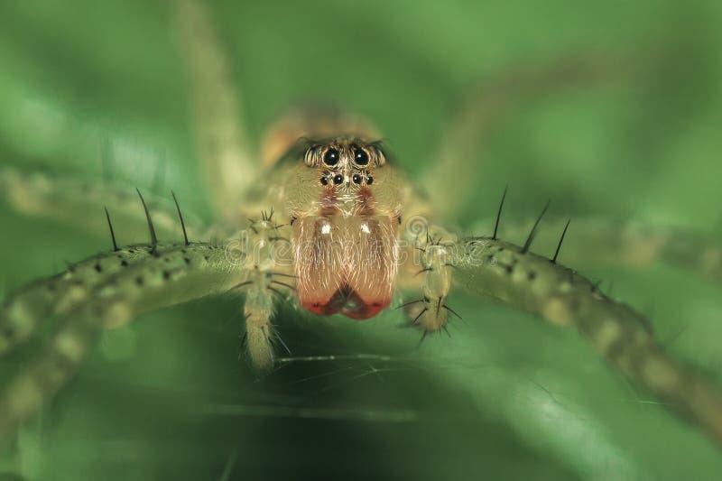 Spinne Dolomedes-fimbriatus, das auf einem Blatt lauert lizenzfreies stockbild