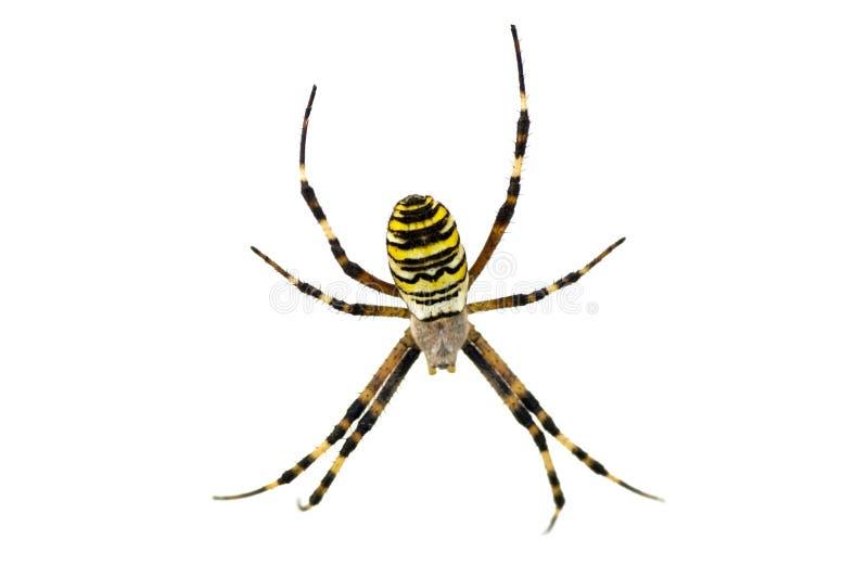 Spinne getrennt auf Weiß stockfotografie