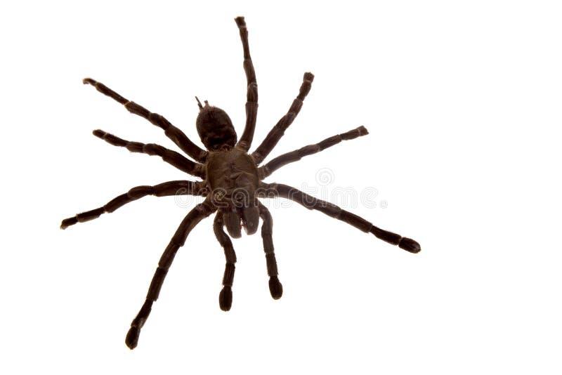 Spinne getrennt auf Weiß lizenzfreie stockfotos