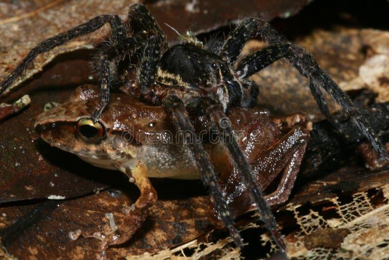 Spinne isst Frosch stockfotografie
