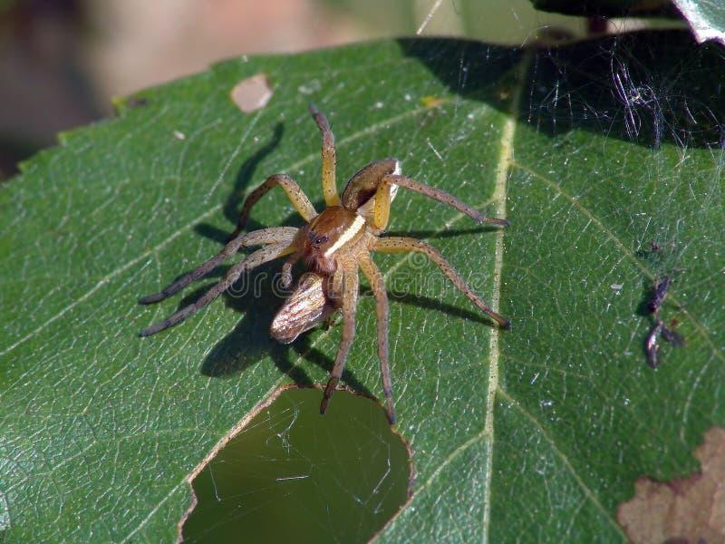Spinne-Jäger mit einer Trophäe lizenzfreies stockfoto