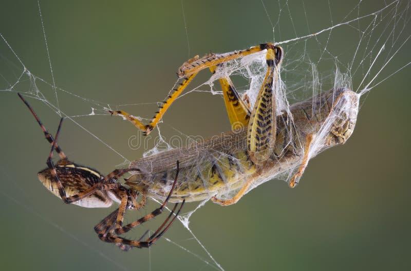 Spinne mit Reißzähnen im Zufuhrbehälter stockbild