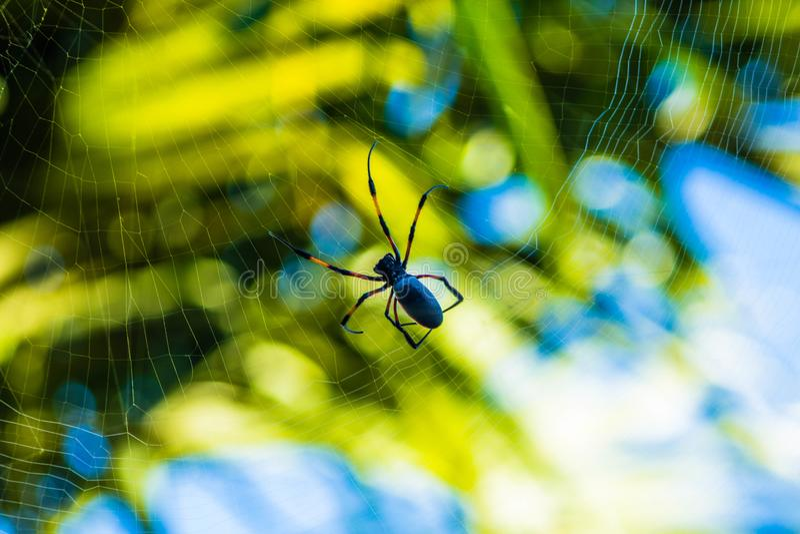 Spinne Nephila Inaurata lizenzfreies stockbild