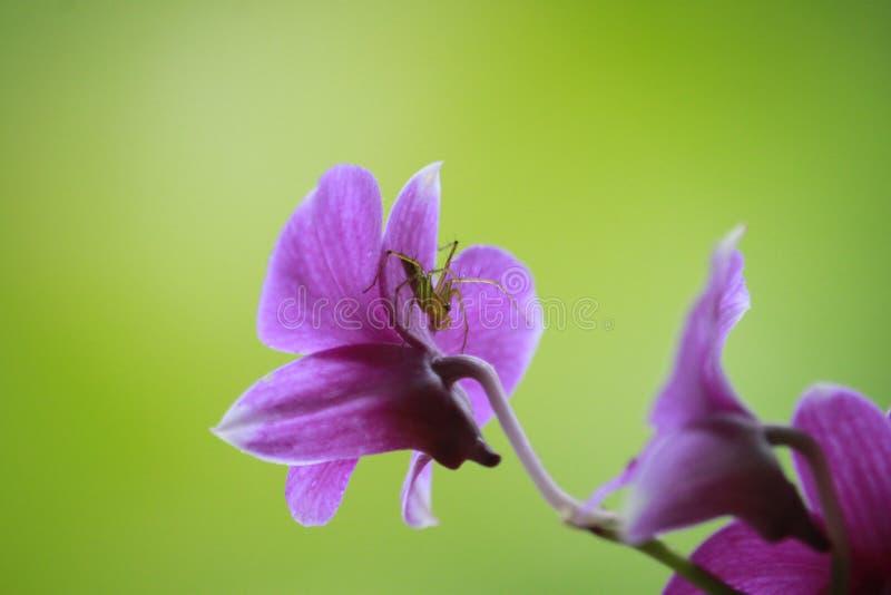 Spinne, Orchidee stockfotografie