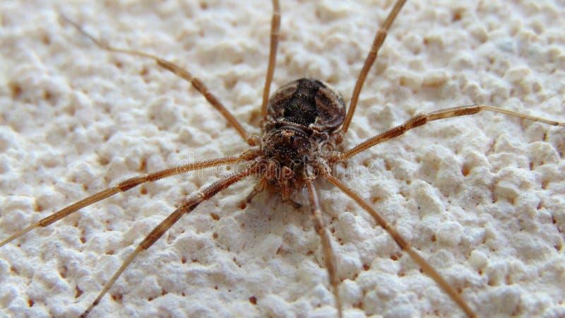 Spinne, reizende Tiere, griechisch stockfotografie