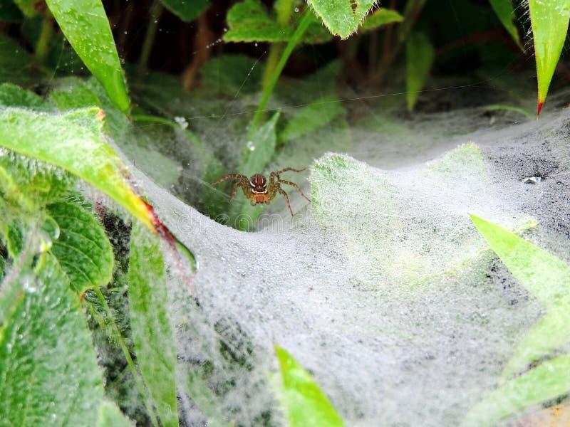 Spinne ` s Netz umfasst mit Tautropfen stockfoto