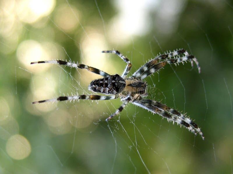 Spinne in seinem Netz lizenzfreies stockbild