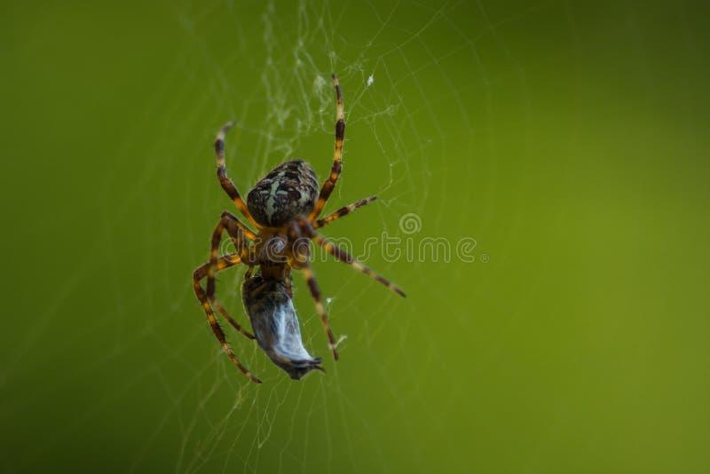 Spinne in seinem Netz ein Opfer essend lizenzfreie stockfotos