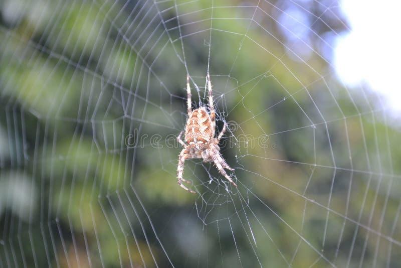Spinne in seinem Netz im Herbstwaldwarteopfer lizenzfreies stockfoto