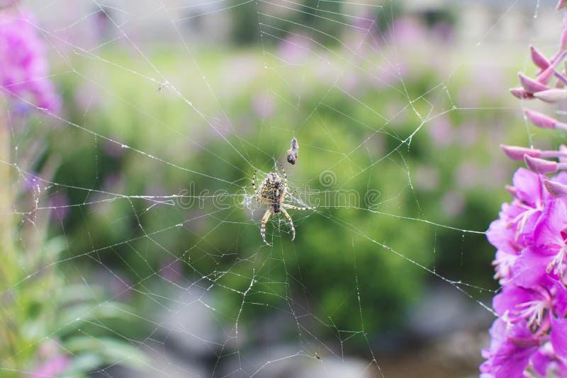 SPINNE IN SPIDERWEB MIT NATÜRLICHEN PURPURROTEN BLUMEN MÖGEN HINTERGRUND stockfotografie