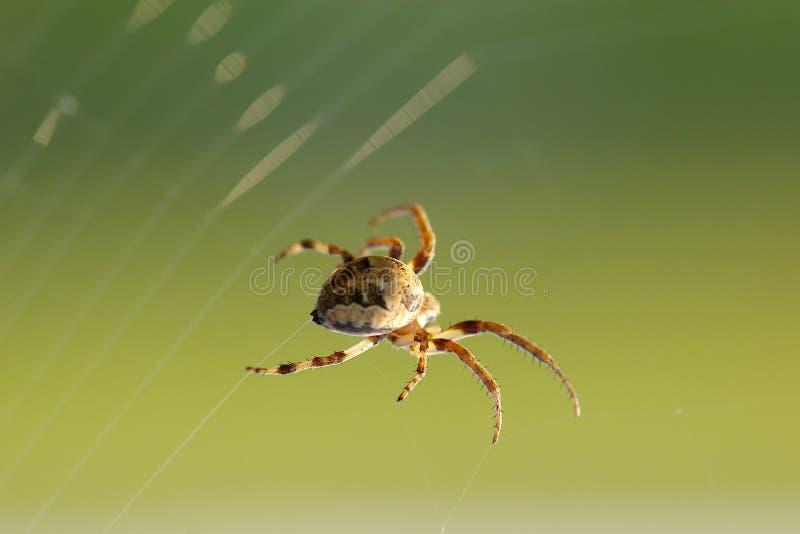 Spinne spinnt Web stockbild