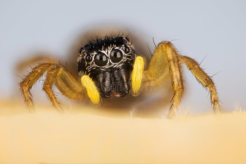 Spinne springend, verkupfern Sie Sonnen-Pullover, kupfernen Sun-Pullover, Spinne, Heliophanus-cupreus, Salticidae stockfotografie