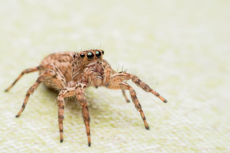 Spinne, springende Spinne auf Wand stockfotografie